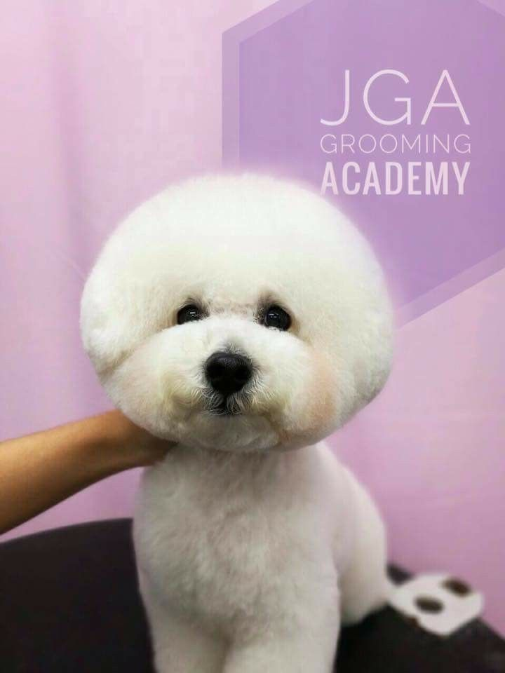 Bichon Frise Dogs Hairstyles – Choosing the Right One For Your Pet