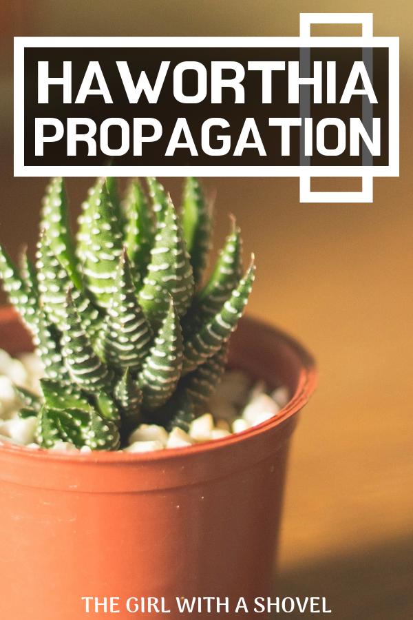 Haworthia Propagation How To Have Success Zebra Plant Propagating Plants Plants