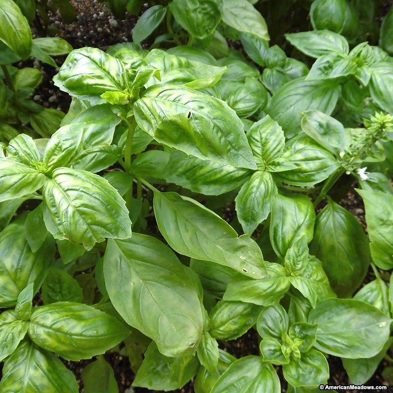 Is Basil A Perennial