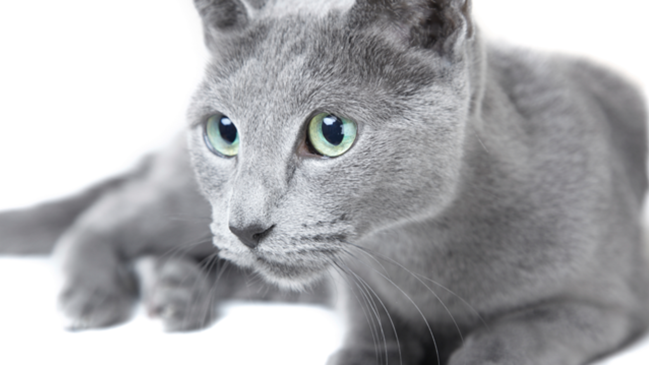 8 Elegant Facts About Russian Blue Cats Russian blue