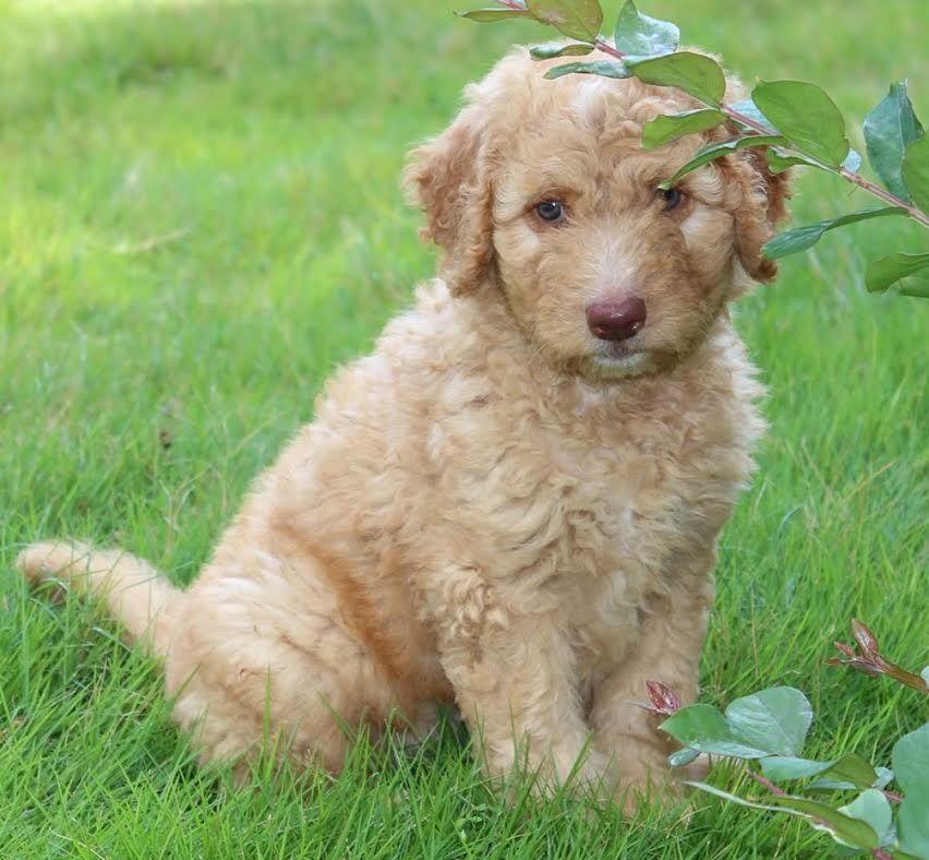 Kentucky lake doodles labradoodle pups for sale