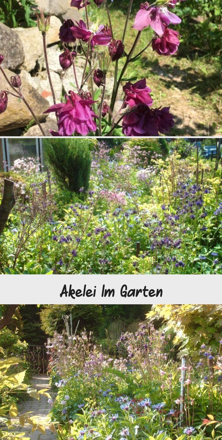 Eine Akelei Im Garten Sieht Immer Sehr Schon Aus Die Blumen Ist Anspruchslos Und Sat Sich Im Garten Von Ganz Allein Aus Zugleich B Plants Garten Ideen Garten