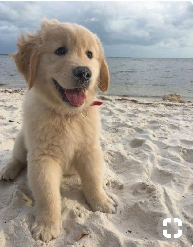 I Have Seen Quite A Few Golden Retrievers On Reddit This Morning