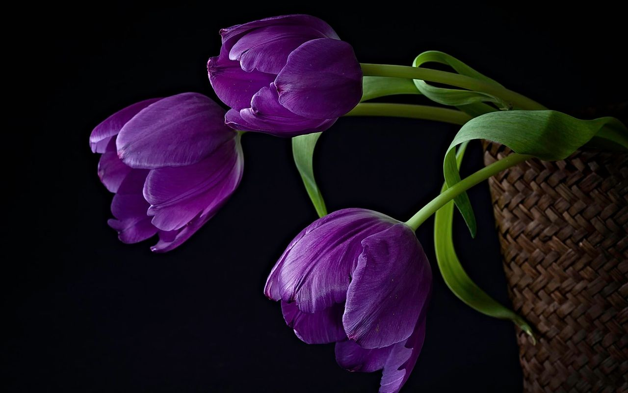 Purple Tulips Background Purple Tulips Flowers Tulips Flowers