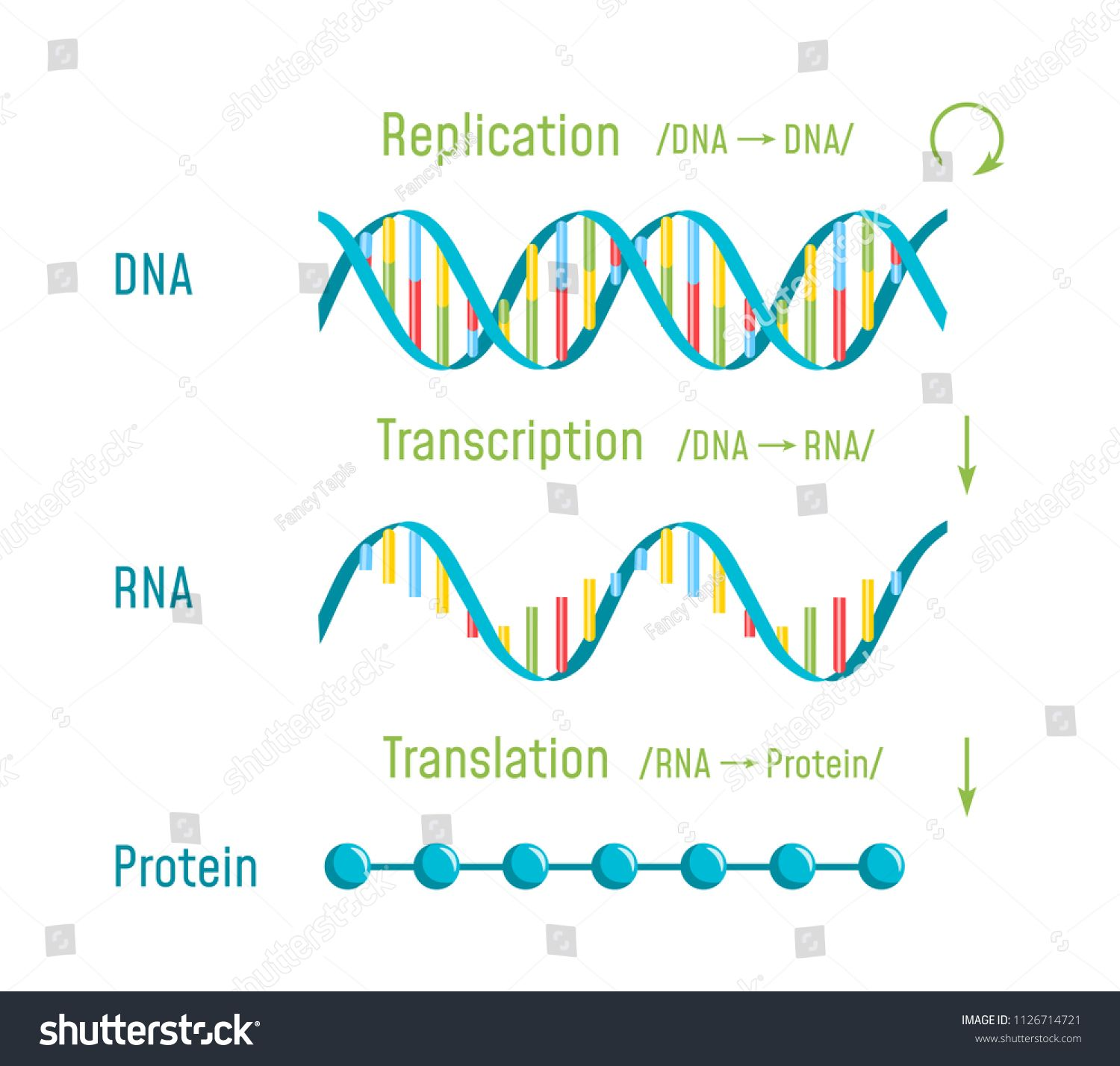 Dna Replication Transcription And Translation The Central Dogma