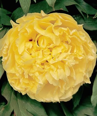 Tree Peony Golden Isles Is A Beautiful Yellow With Dark Red Flares Deep Within The Bloom Peonies Garden Peonies Song Sparrow