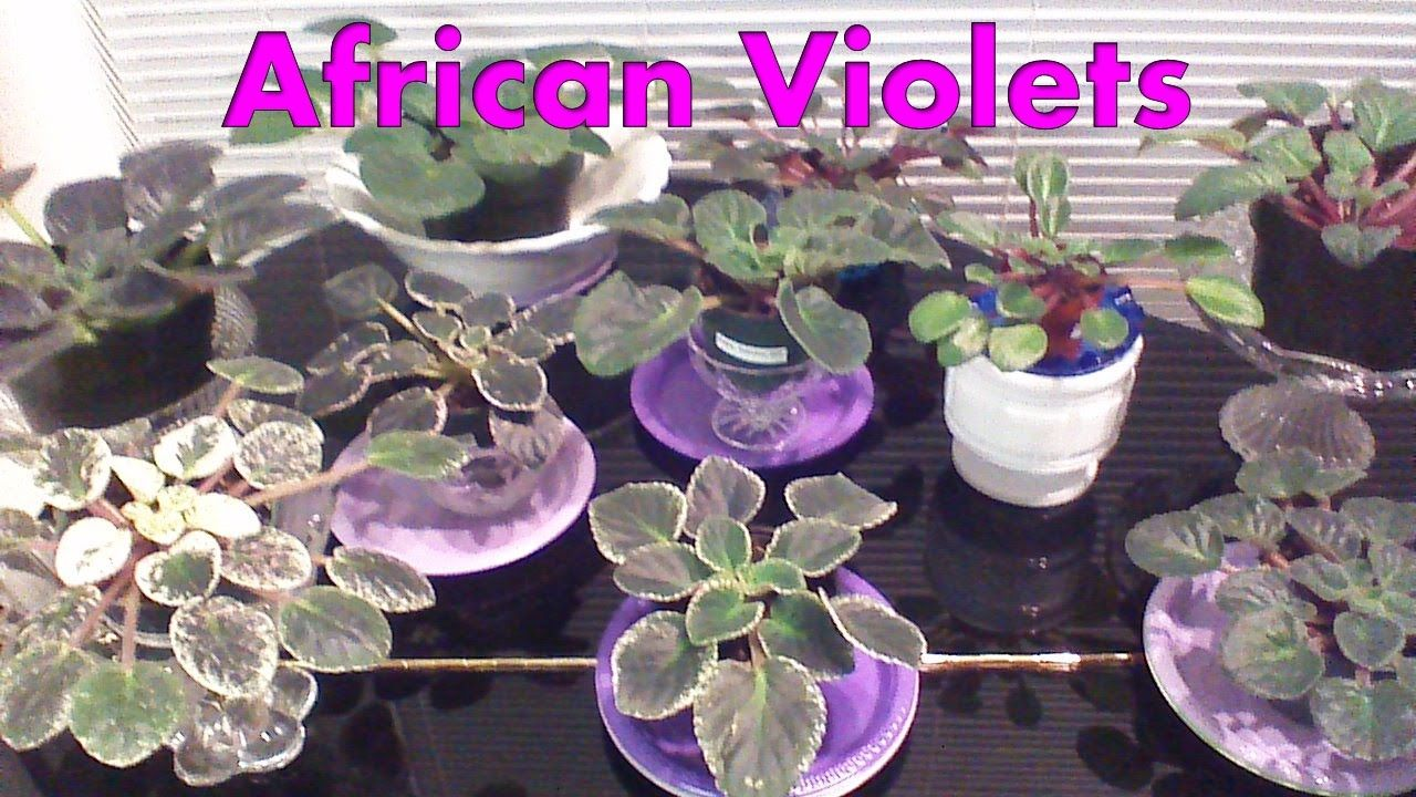 African Violet Tips and Ideas