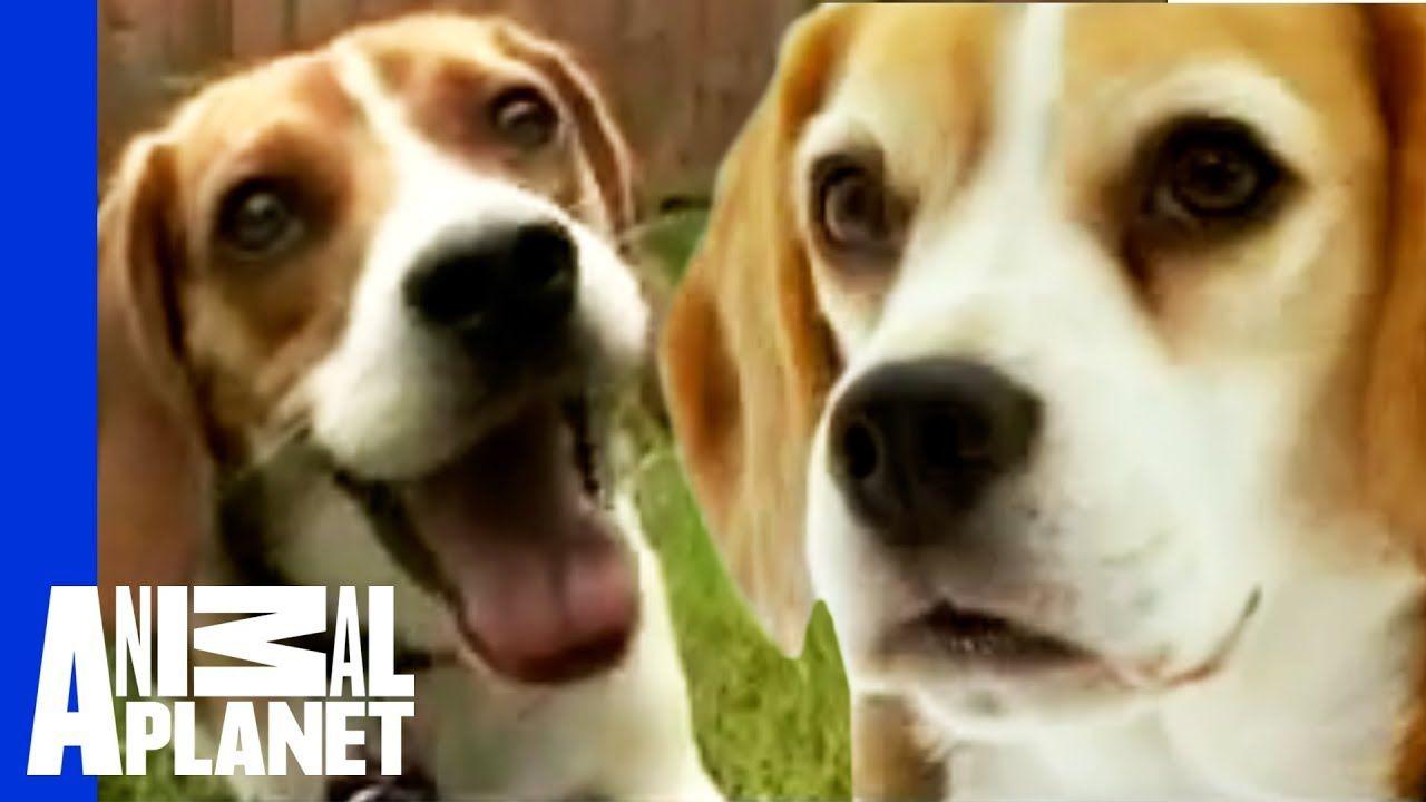The Beloved Hound The Beagle Dogs 101 Beagle Dog Beagle