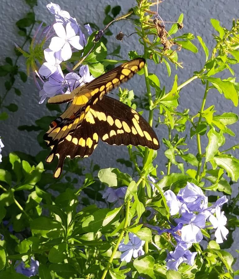 Giant Swallowtail, Melbourne FL 070115 Plant leaves
