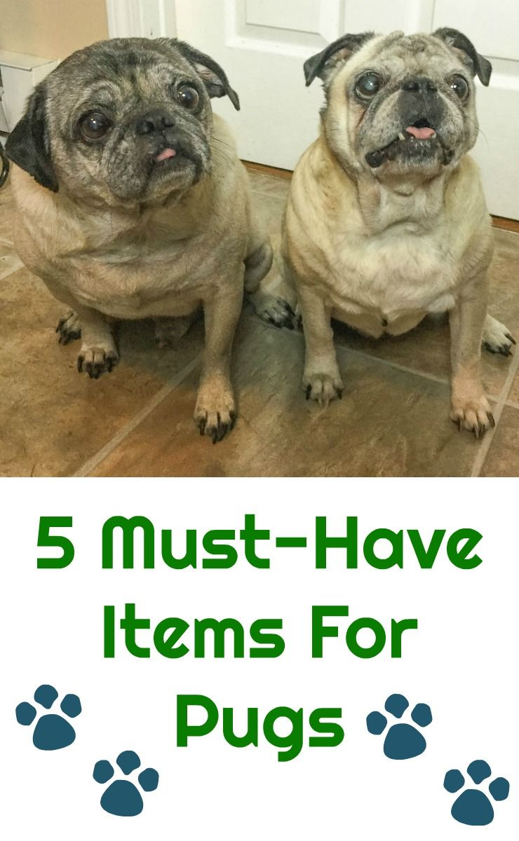 5 Must Have Items For Pug Owners Pugs Can Dogs Eat Pet Clinic