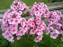 Flores cor-de-rosa pequenas no jardim da mola Fotografia de Stock