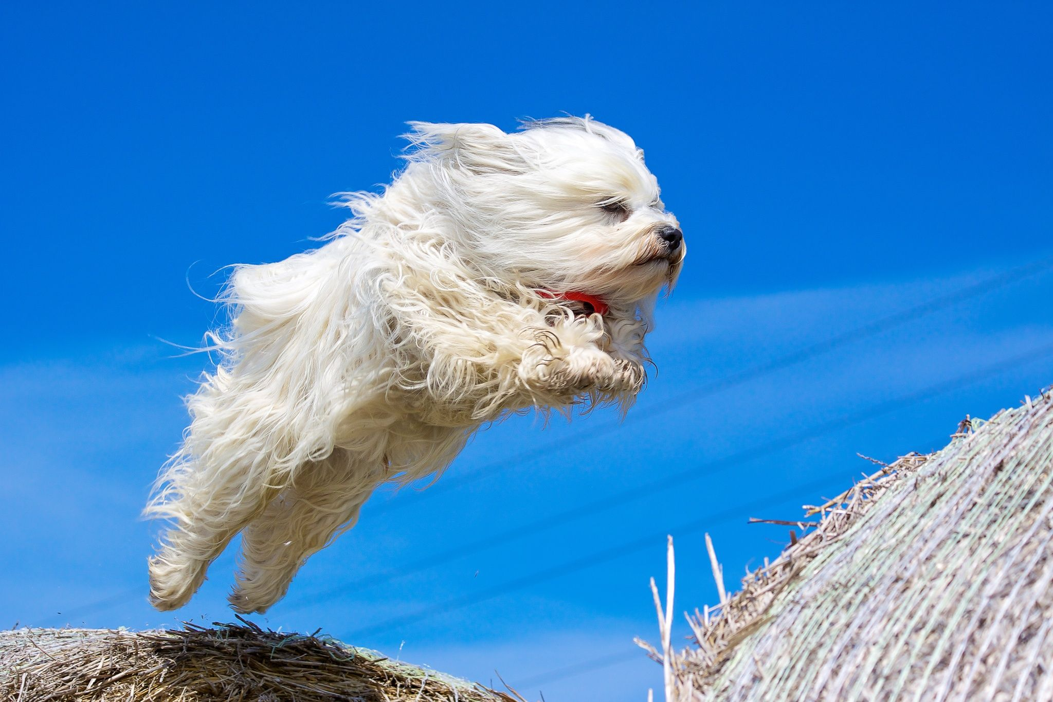 Jumping havanese by Ralf Bitzer on 500px