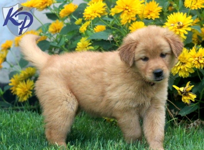 Golden Retriever Bichon Mix Google Search Golden Retriever
