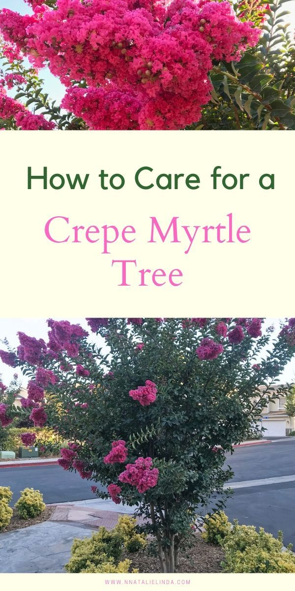 How to Care for a Crepe Myrtle Tree