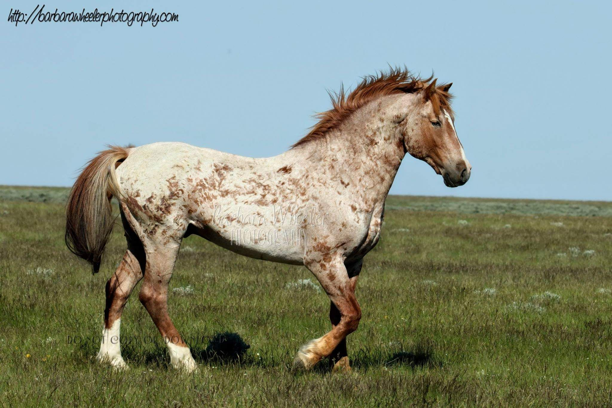 Strawberry Roan Mustang with many battle scars called Corn ... - photo#14