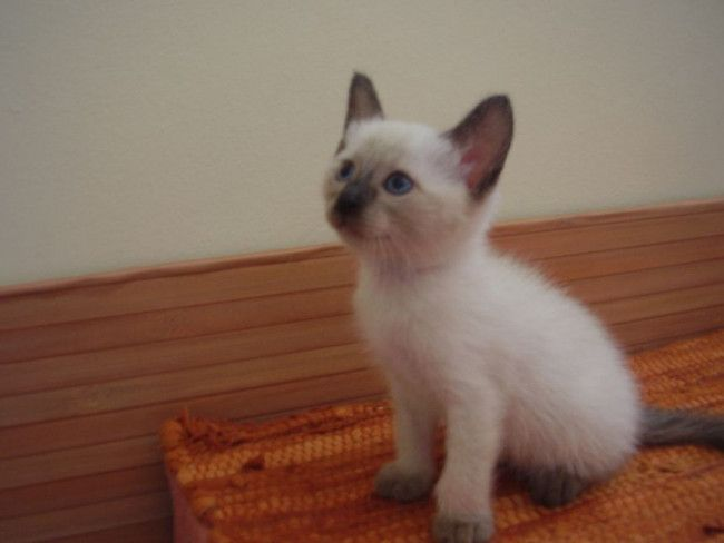 Baby Siamese Cats 34 Pictures Siamese Kittens Siamese Cats Siamese Cats Blue Point