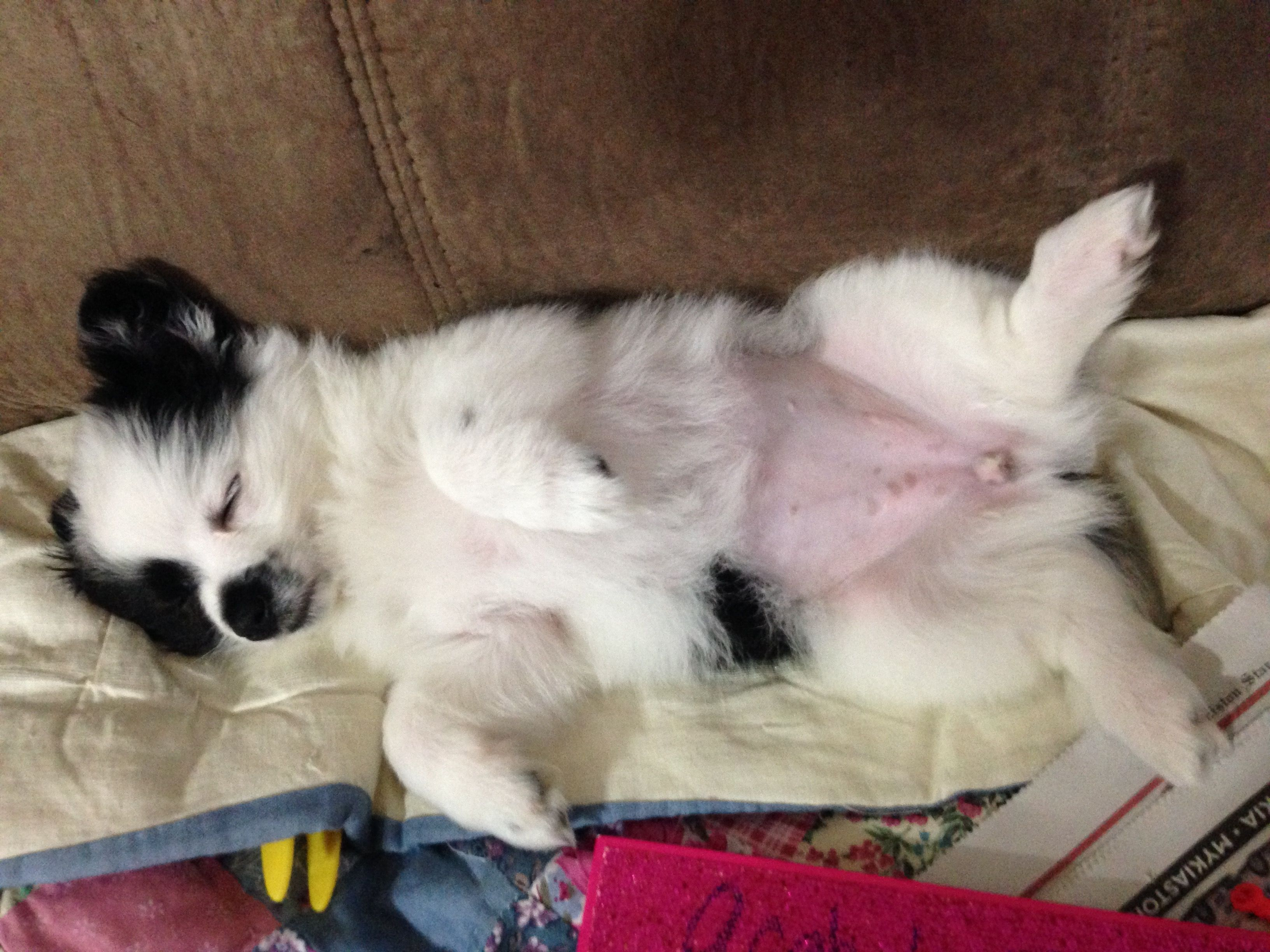 Toy Chihuahua Long Hair Black Long Haired Chihuahua Pictures 1