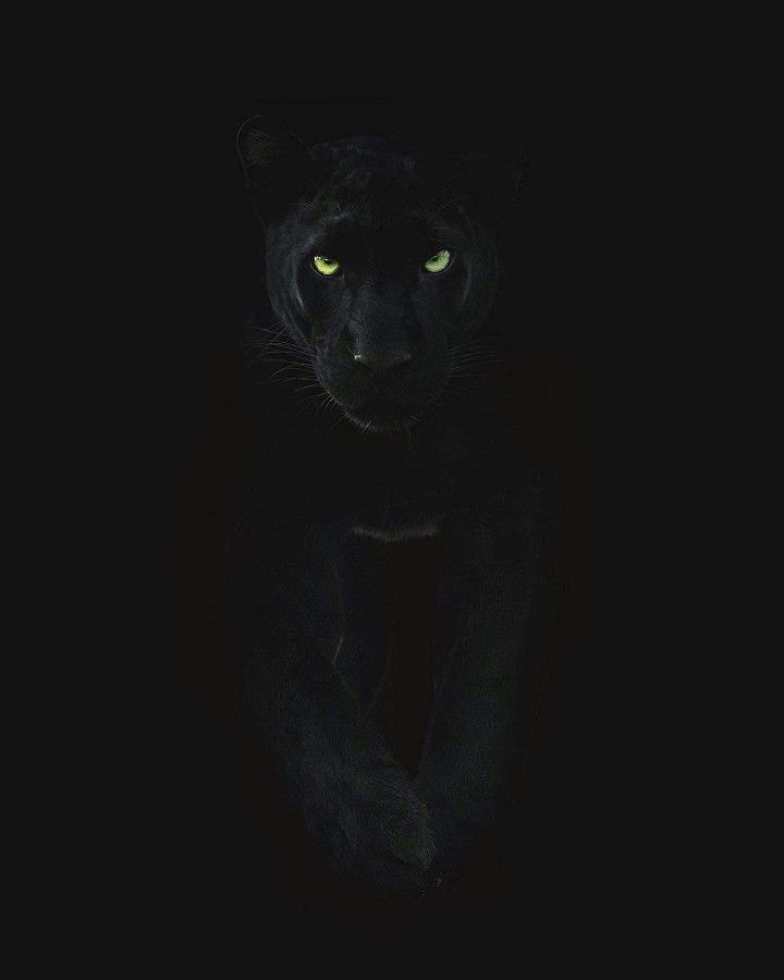 Black Panther Black Jaguar Animal Black Panther Tattoo Jaguar Animal