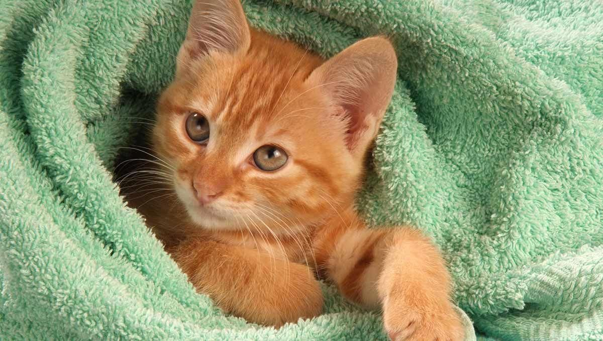 A Guide To How To Give A Cat A Bath by Cat site, Calico