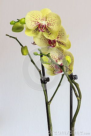 Beautiful Yellow Orchid And Pink Spots By Janos Gaspar Via Dreamstime Pink Orchids Orchid Flower Yellow Orchid