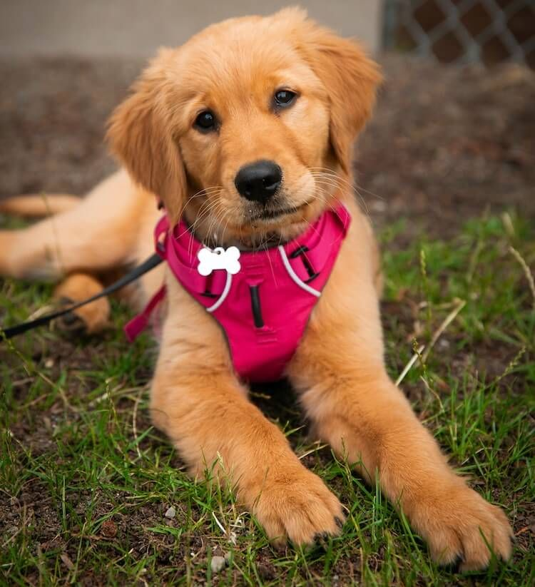 Golden Retriever Training How To Train A Golden In 6 Weeks All Things Dogs In 2020 Golden Retriever Puppy Training Golden Retriever Training Golden Retriever