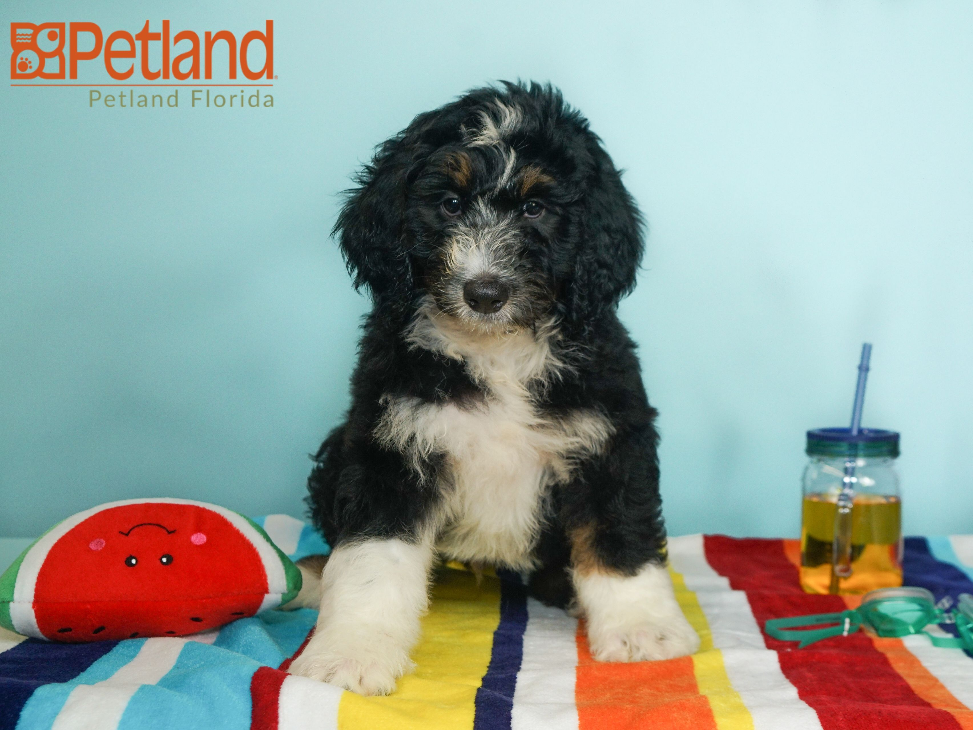 Puppies For Sale Bernadoodle Puppy Bernadoodle Puppies