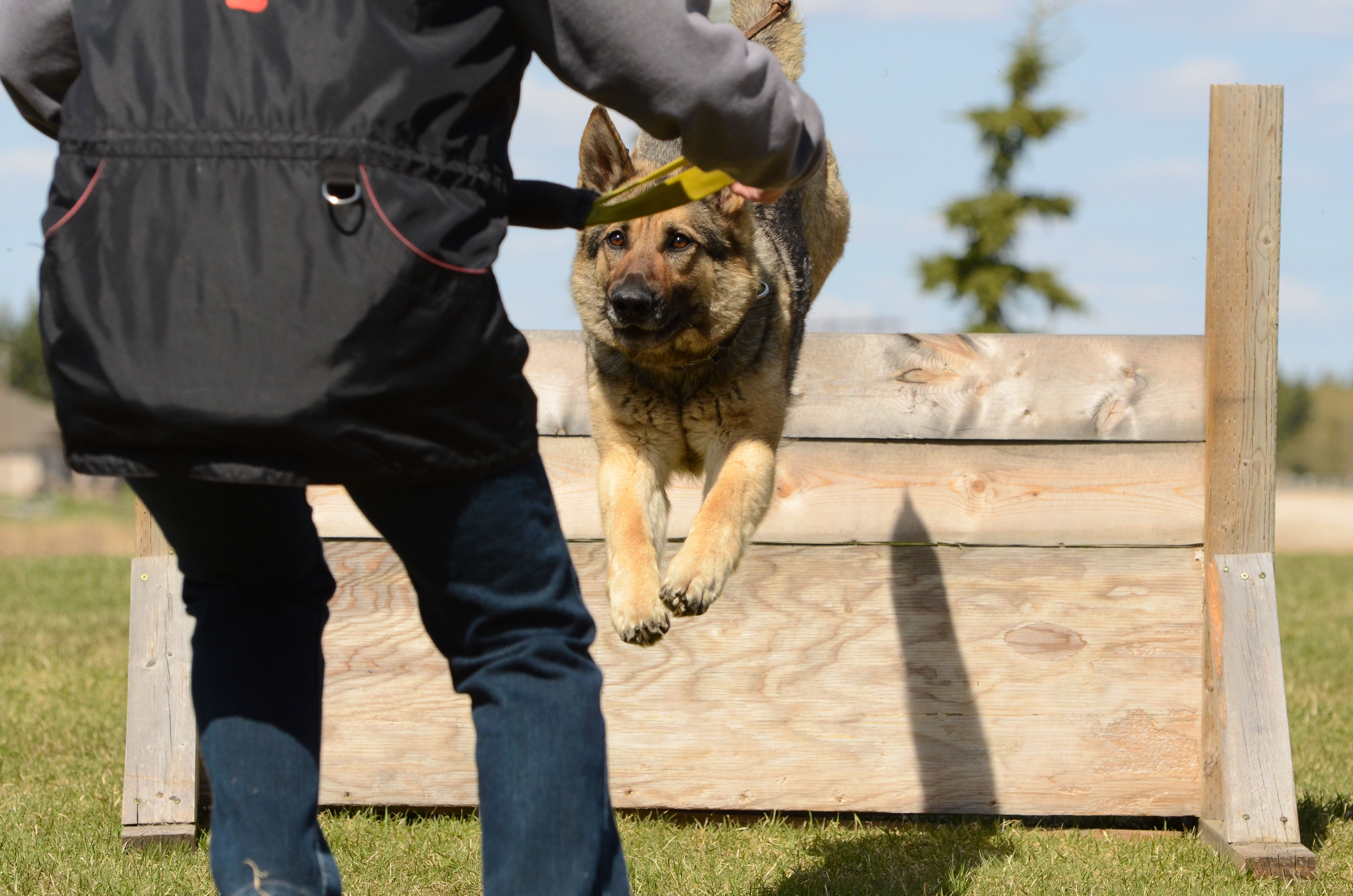 Logan and Ceyla, German Shepherd Dogs. They compete in