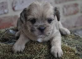 Image Result For Shih Tzu Bully Mix Pug Mixed Breeds Pug Zu