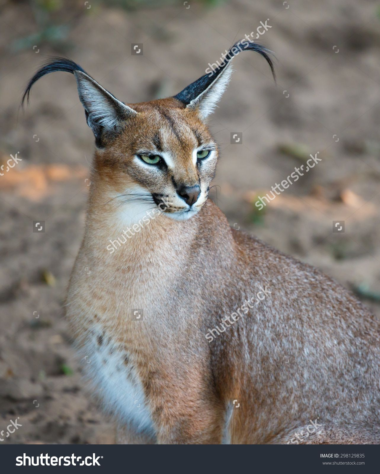 Beautiful Caracal Or African Lynx With Long Tufted Ears Wild Cats Caracal Caracal Cat