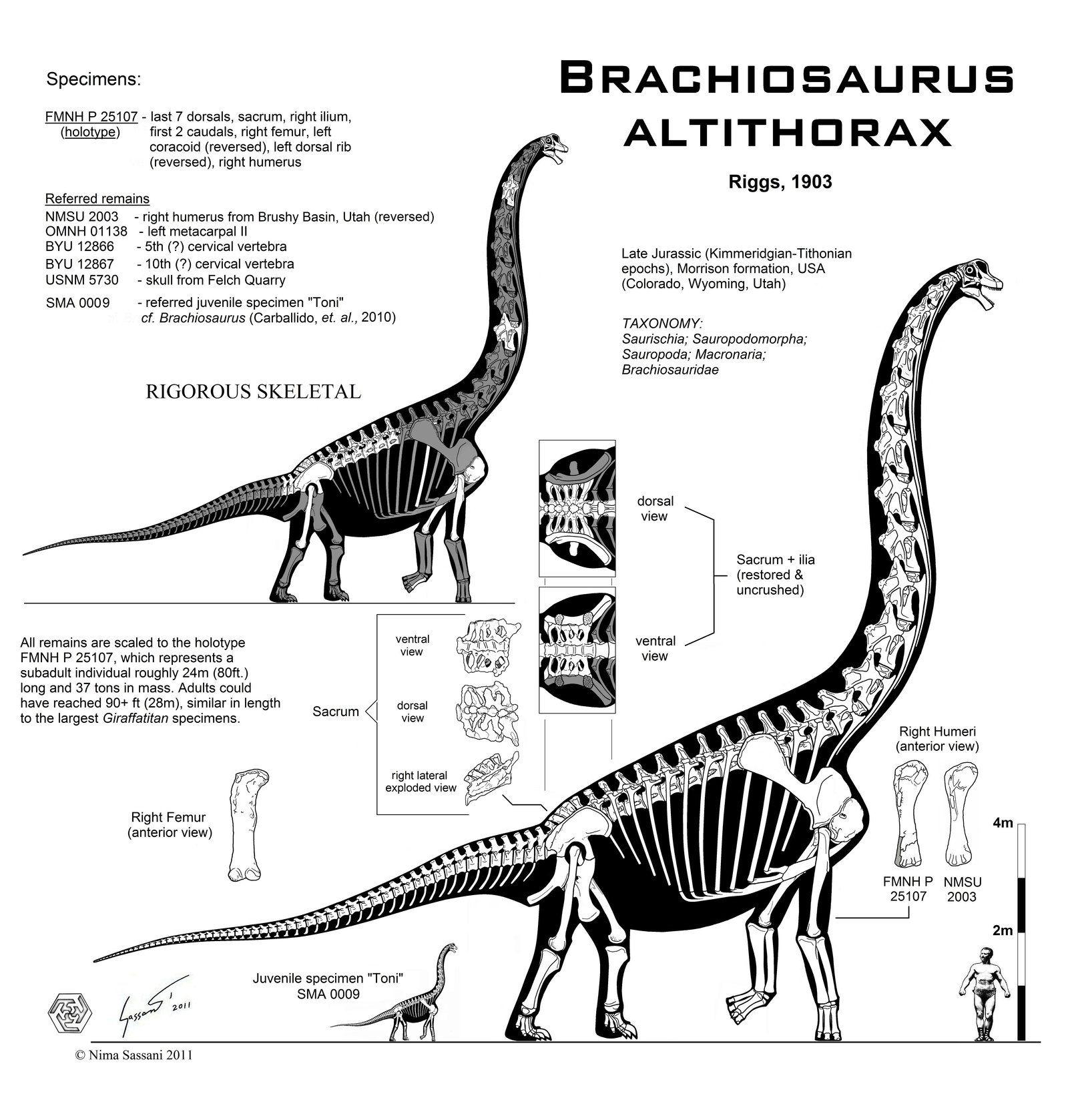 Brachiosaurus altithorax hi-fi skeletal by ~Paleo-King