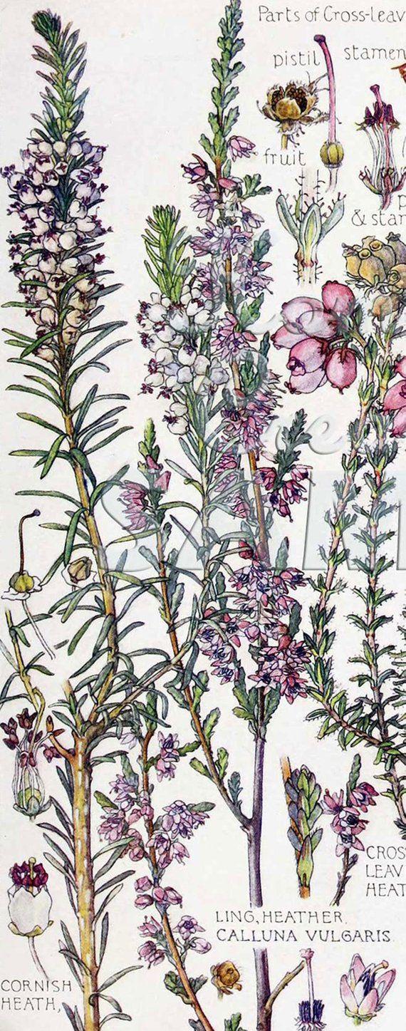 Isabel Adams Heath Heather Zoom In Vintage Botanical Etsy Vintage Botanical Vintage Flowers Trendy Flowers