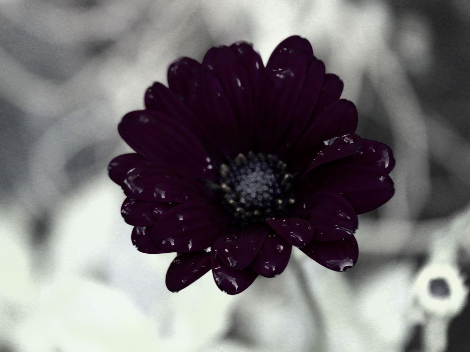 foto Spaanse margriet