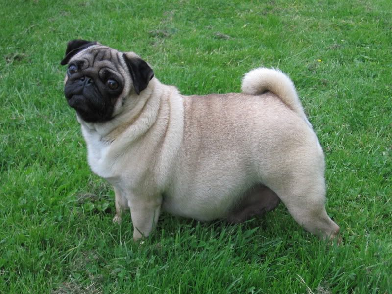 Pictures Of Pregnant Pugs
