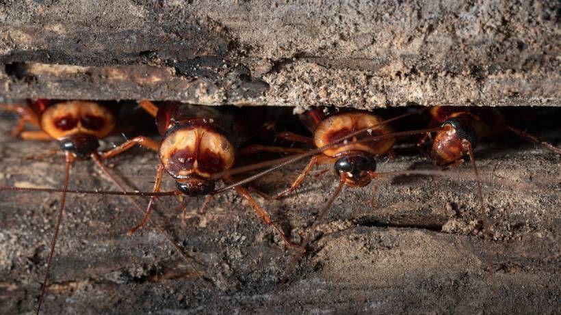 Schaben Bekampfen Das Konnen Schabenfallen Und Hausmittel Hausmittel Gegen Ameisen Schaben Schaben Bekampfen