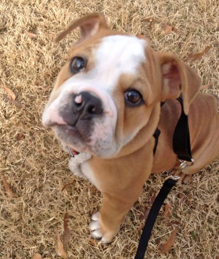 Aristocrat French Bulldogs And Bullmastiffs Email Aristocratbulls