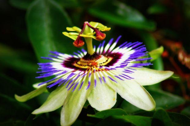 1 Passion Flower Jpg Passion Flower Passion Flower Plant Passion Vine