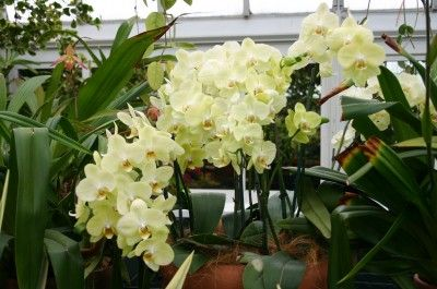 Potting Mixture For Growing Phalaenopsis Orchids Should Remain Moist Drying Slightly Between Waterings But Never Out Completely So