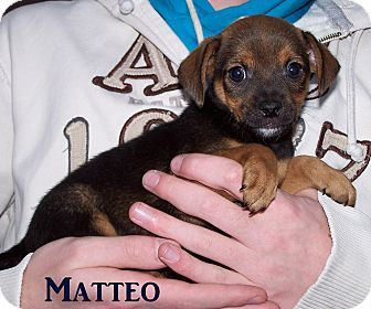 Milford, NJ - Chihuahua Mix. Meet Matteo, a puppy for adoption. http://www.adoptapet.com/pet/12468787-milford-new-jersey-chihuahua-mix