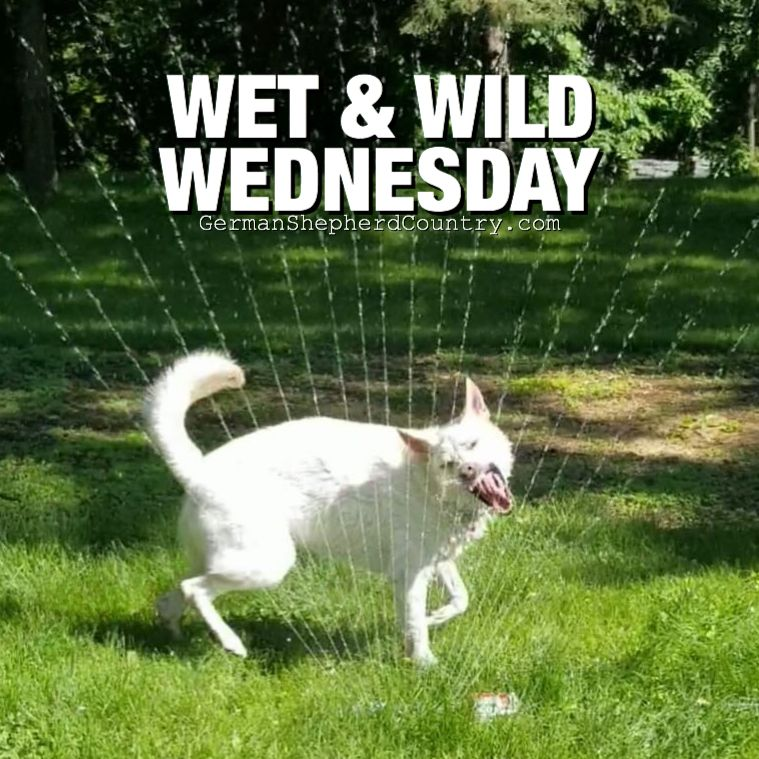 Wet Wild Wednesday Quill Loved By Ashley Jaros Whitegermanshepherd Whitegsd White German Shepherd German Shepherd Gsd