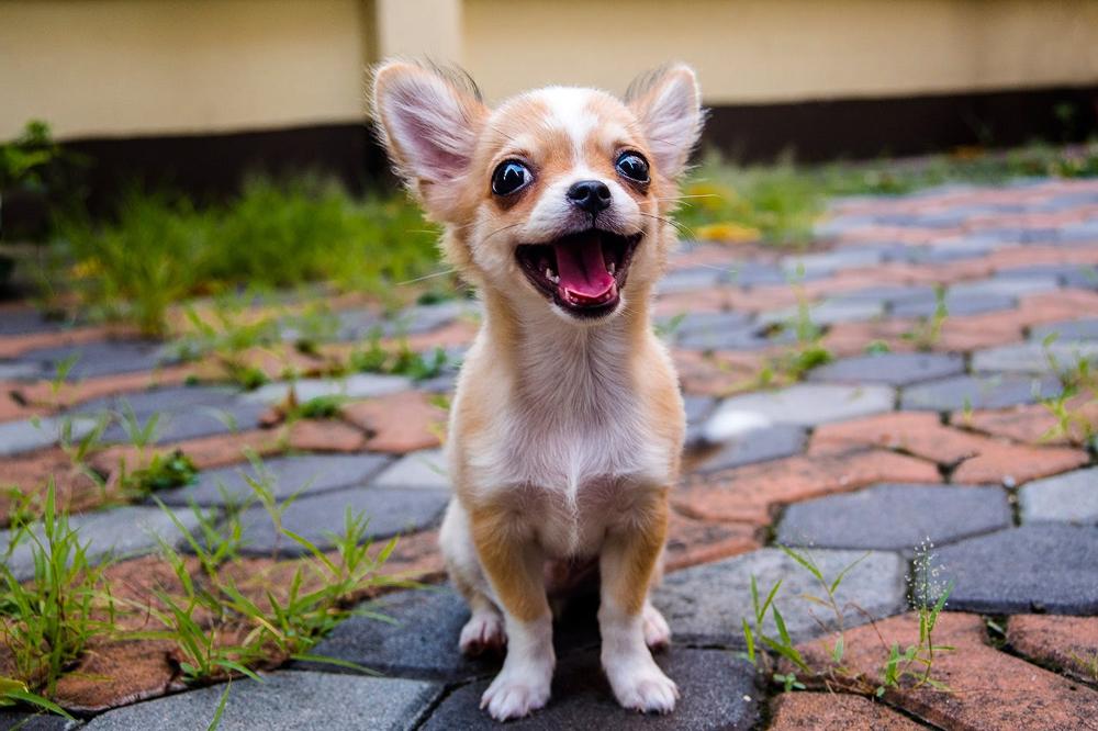 Chihuahua Aggressive Dog Chihuahua Dogs Dog Breeds