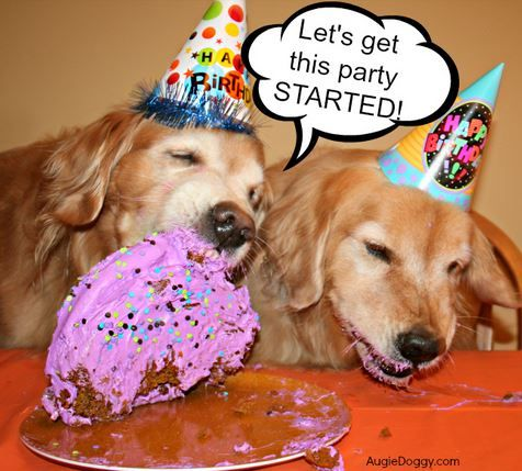 Happy Birthday Golden Retrievers Loving Their Birthday Party