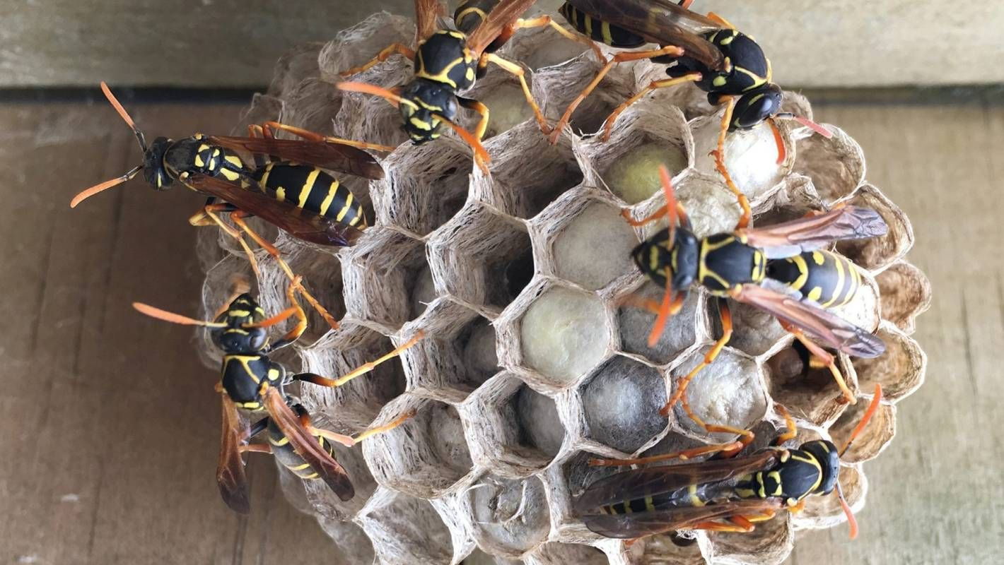 Be in the know this summer to wipe out paper wasps in our