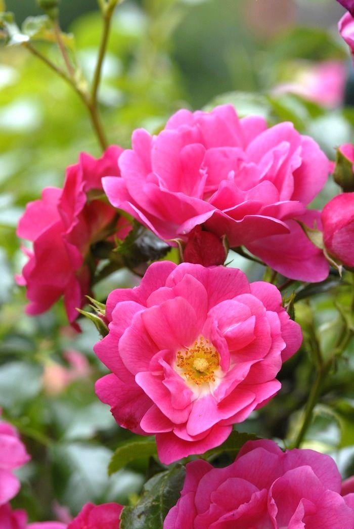 Flower carpet pink supreme stunning for weeks and weeks flower flower carpet pink supreme stunning for weeks and weeks mightylinksfo