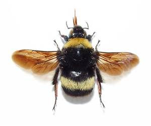 Bumble Bee Diagram Household Wiring Australia Yahoo Image Search Results Bees Are Going Extinct