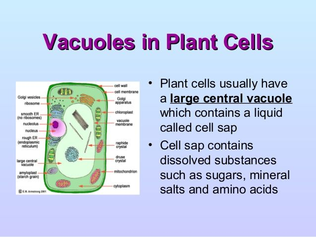 central vacuole in plant cell on cell wall function id=11904
