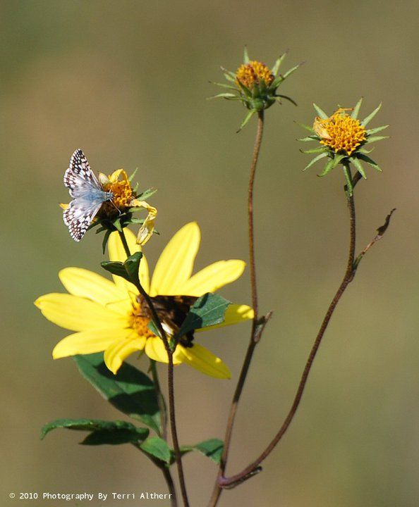 Common Checkered Skipper (Pyrgus communis) on Bidens aristosa Western tickseed sunflower Asteraceae.  Butterfly