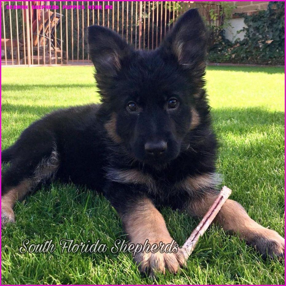 8 Beautiful German Shepherd Puppies For Sale Near Me In Romania