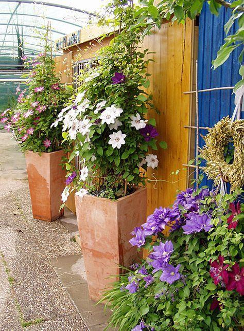 Pflanz pflegeanleitung clematis als k belpflanze garten garten garten ideen und pflanzen - Terrasse hoher als garten ...
