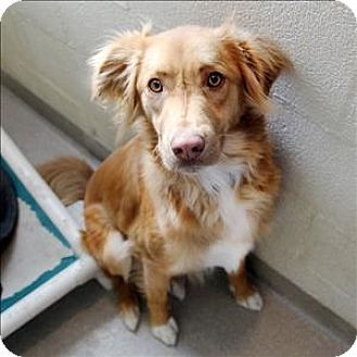 Mckinney Tx Australian Shepherd Irish Setter Mix Meet Max A