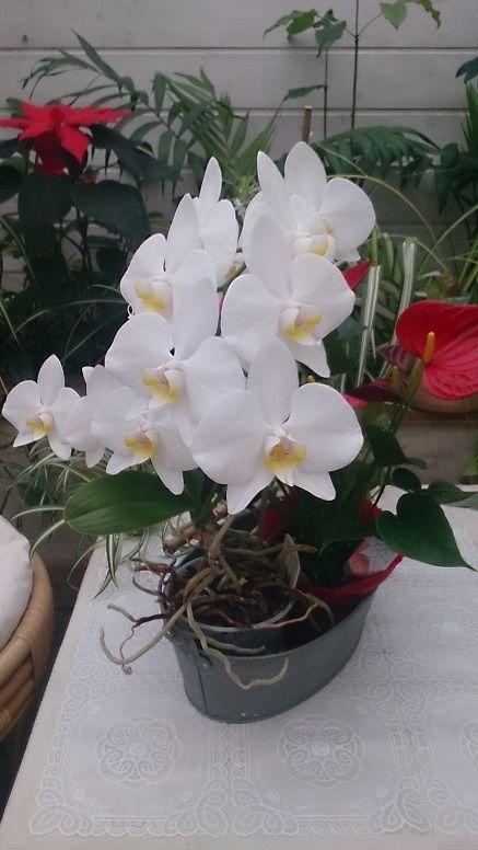 orchidee blanche et jaune